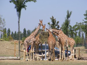 giraffe striscioni 2