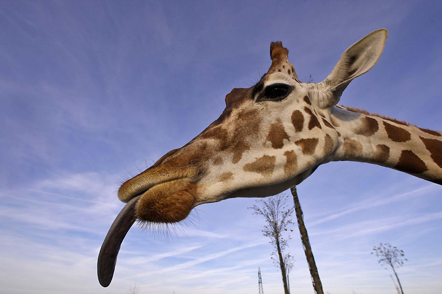 Giraffa safari ravenna loc mirabilandia for Immagini giraffa per bambini