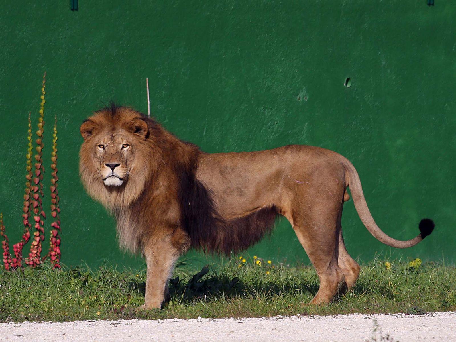 Lion Safari Ravenna Loc Mirabilandia