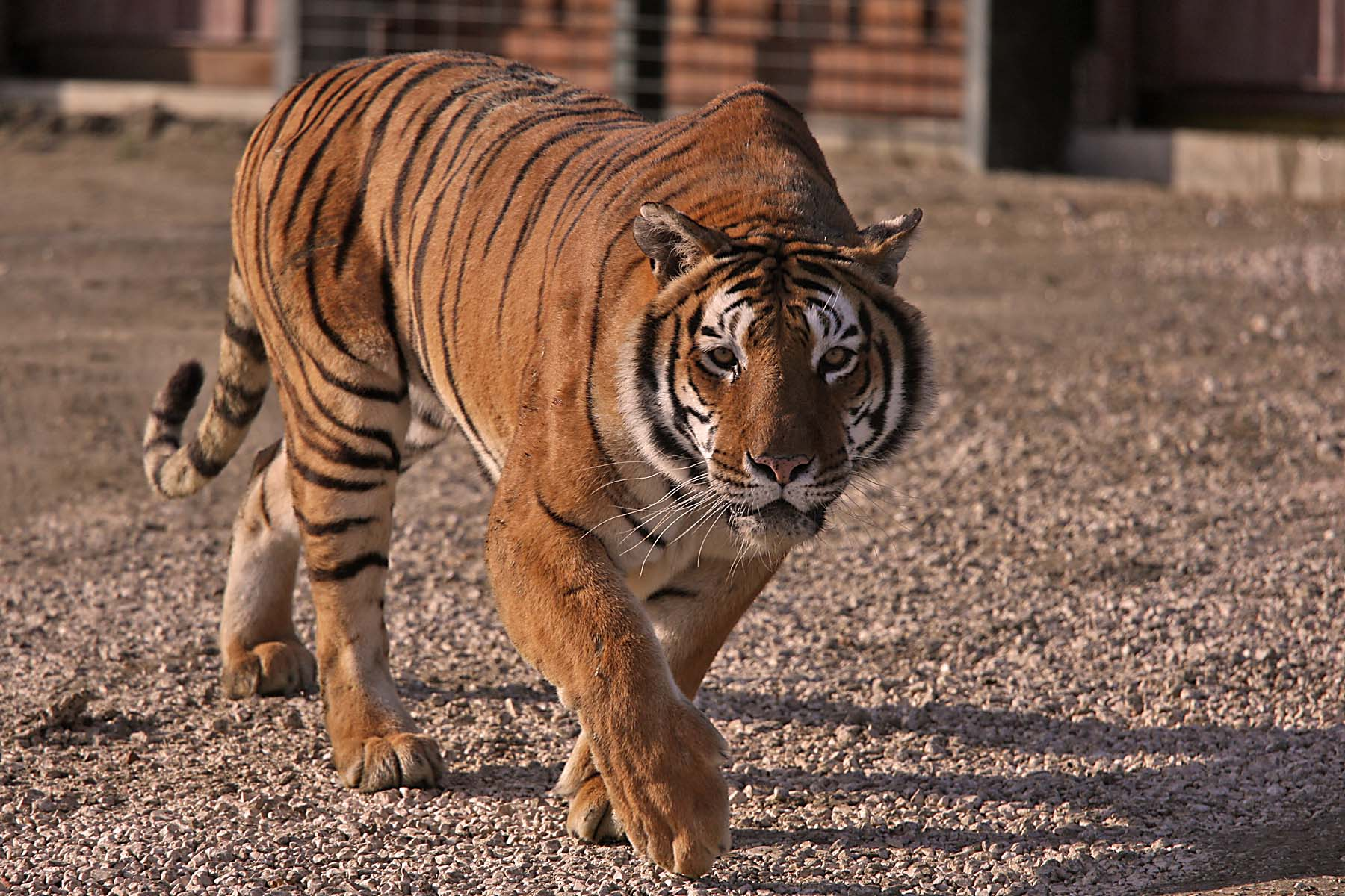 Tigre safari ravenna loc mirabilandia for Disegni delle tigri