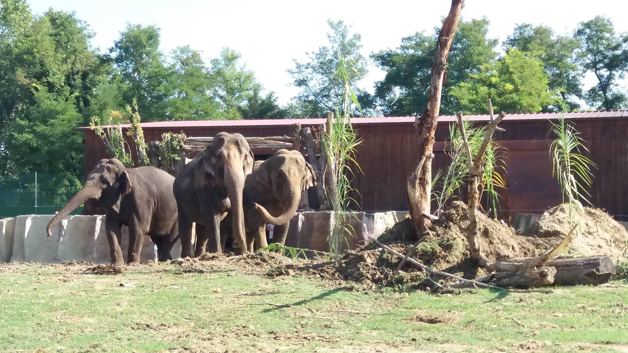 Il Safari Ravenna da il benvenuto a Maia, Deli e Laika, 3 bellissimi esemplari di elefanti asiatici provenienti dal Parco belga Pairi Daiza - Safari Ravenna loc. Mirabilandia