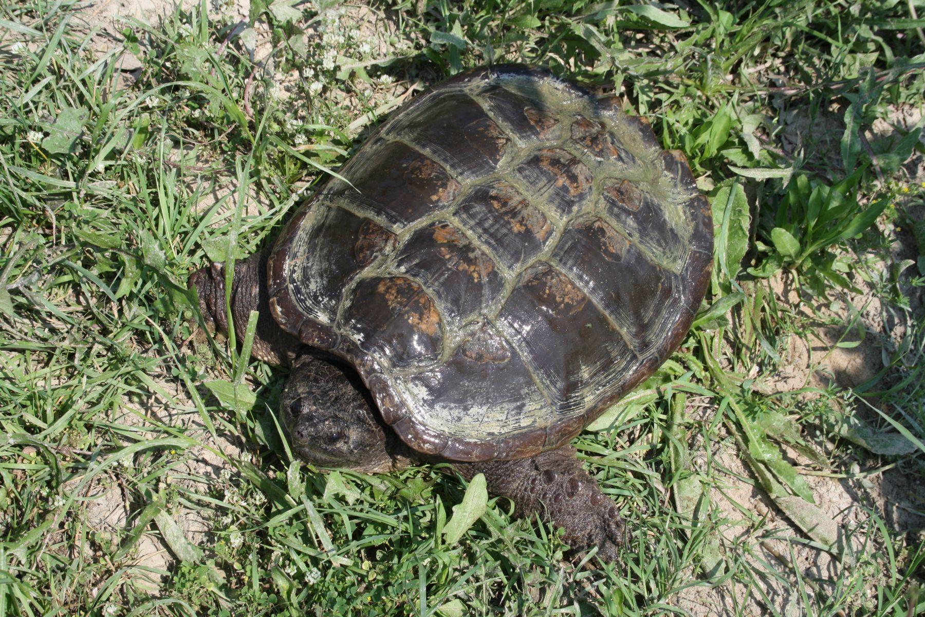 Safari ravenna e gli animalisti di meldola intervengono a for Tartaruga di palude