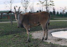 Antilope alcina - Safari Ravenna