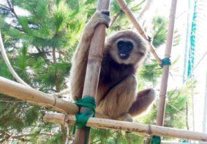 Gibbone mani bianche 4