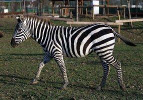 Zebra - Safari Ravenna