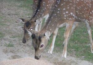 cervo pomellato 1