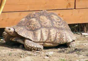 Tartaruga Leopardo - Safari Ravenna